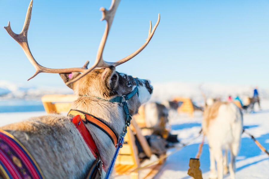Reindeer sleigh tour in Tromso