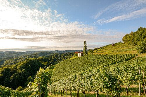 Landscape with wine grapes in the vineyard before harvest in Styria.