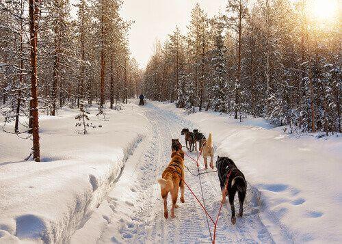 Bearhill Husky dog sled in Rovaniemi, Finland.