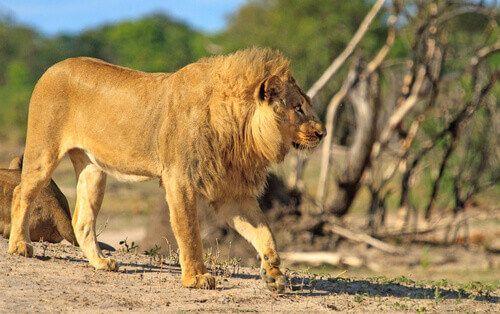 A lion walks around the Hwange National Park.
