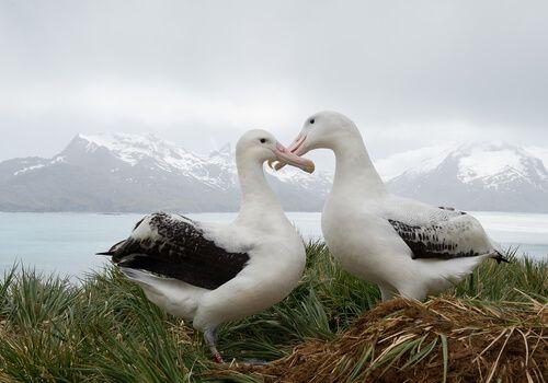 Two wild Albatrosses settled on the grass.