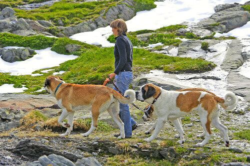 Breeder on a walk with dogs bred for centuries in hospice of Great St. Bernard Pass.