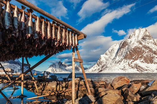 Cod fish are hung on a wooden rack in Lofoten Island, Norway.