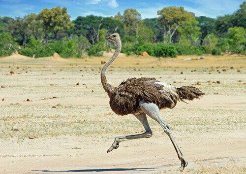 Ostrich running across the Hwange Plains in Zimbabwe.