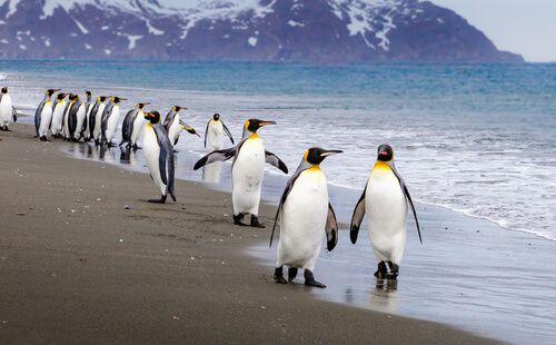 Emperor Penguins travel along a cloudy beach.