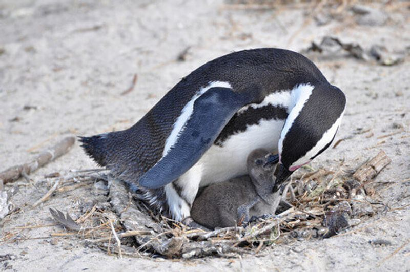 A Jackass Penguin with it's chick in the Boulders Beach, South Africa.
