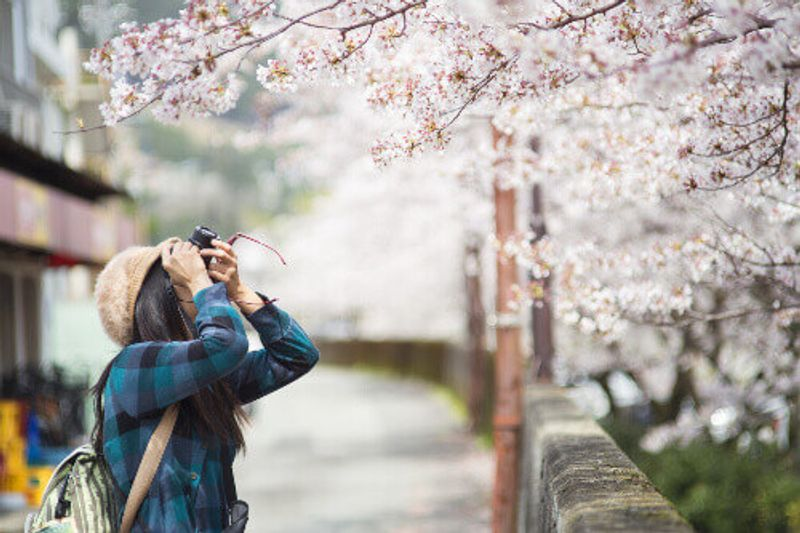 A female traveller takes photos of cherry blossom's in Japan.