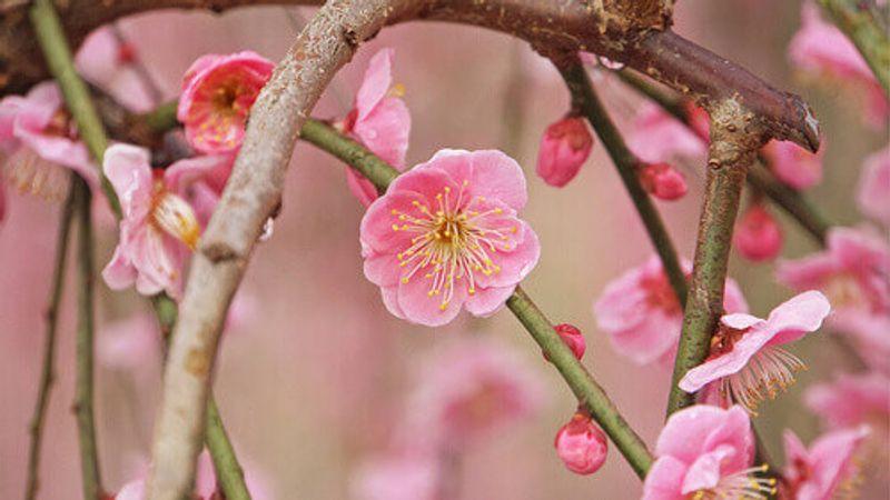 apanese Ume plum blossoms from Odawara Plum Festival, Kanagawa Prefecture.