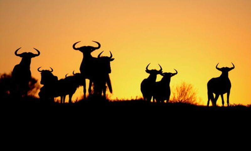 A herd of wildebeest silhouetteted in the sunset.