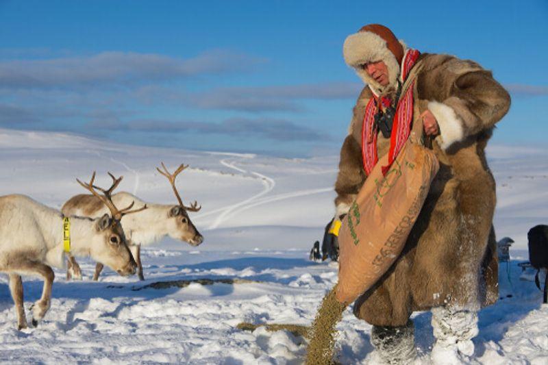 Common sights in Lapland include locals feeding reindeers in winter.