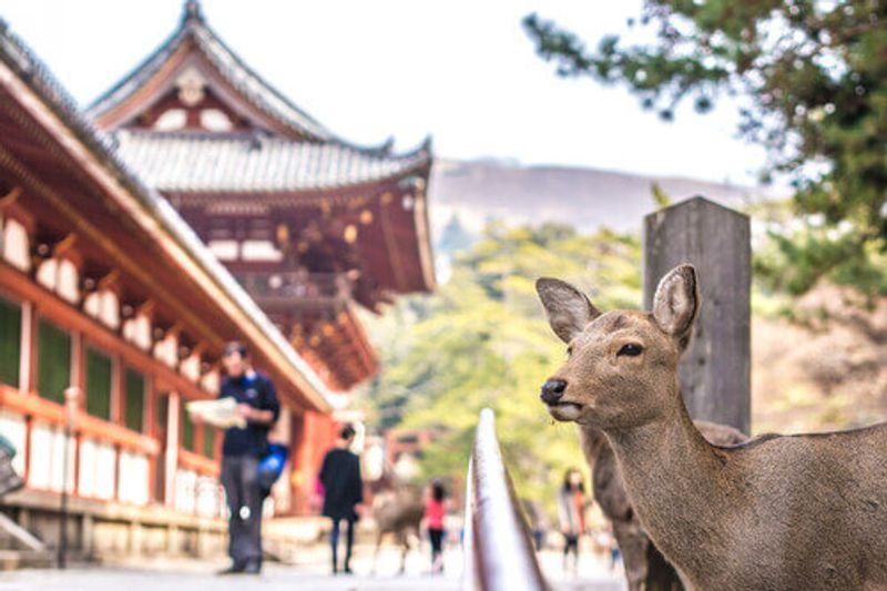 A deer stands close to the camera in front of a Temple in Nara, Japan.