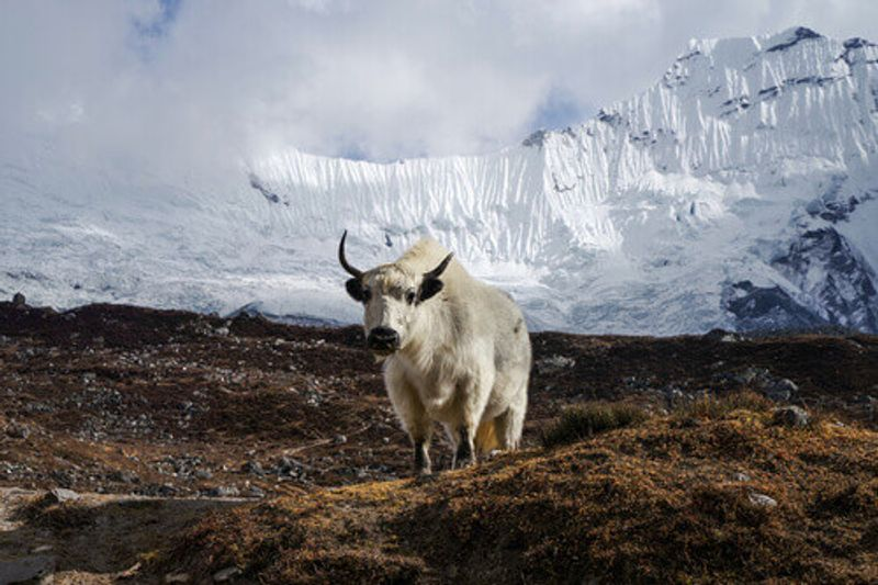 White Nepalese yak on the background of the Himalayas, Nepal.