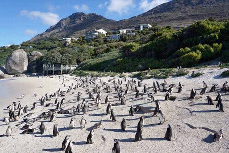 African Penguins standing on the Boulders Beach near Table Mountain National Park.