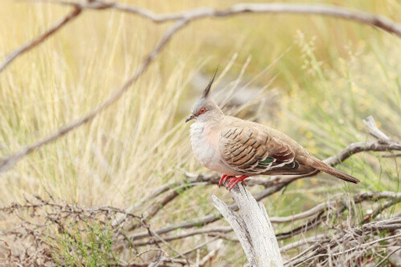 A Crested Pigeon sitting on a tree branch in Kata Tjuta National Park.