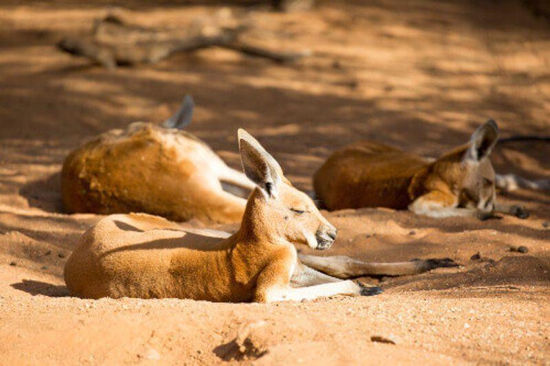 A kangaroo basks in the sun near Alice Springs, Northern Territory.