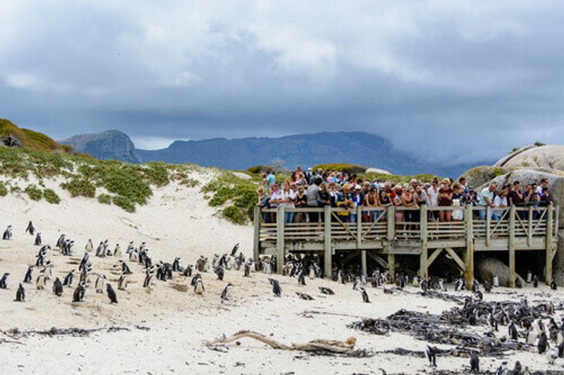 Tourists are observing the African Penguin colony living on Boulders Beach from a wooden platform in Cape Town.