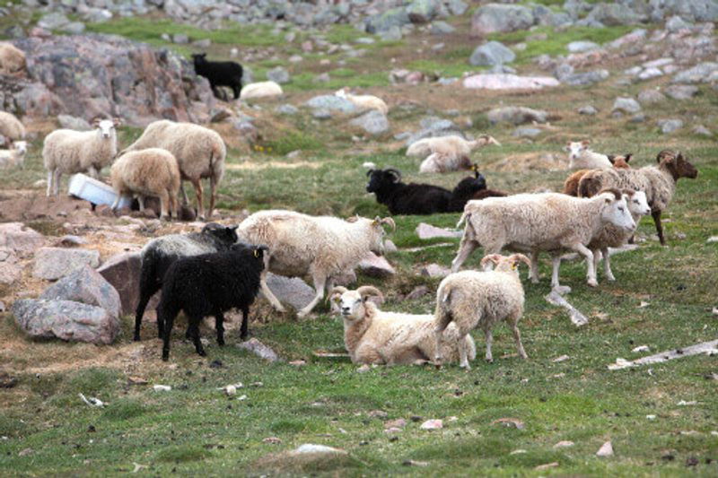Herding sheep in a field of Southern Greenland.