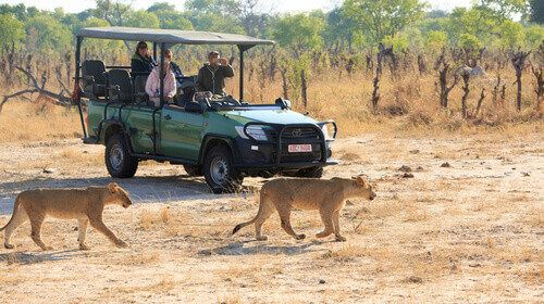 Tourists out on safari while two lions walk past them in the Hwange National Park.